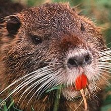 http://pikeknight.files.wordpress.com/2012/12/evil-beaver.jpg?w=490